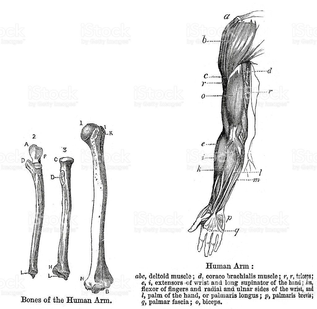 Resultado de imagen de Grabados anatomia brazo | Inspiracion ...