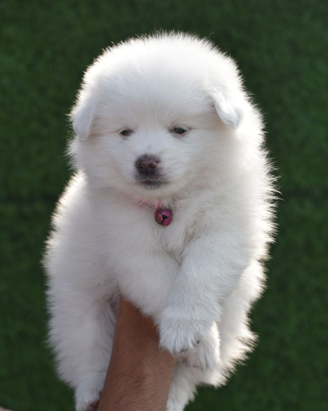 Pom Puppies For Sale Delhi In 2020 Puppies Pets Cute Animals