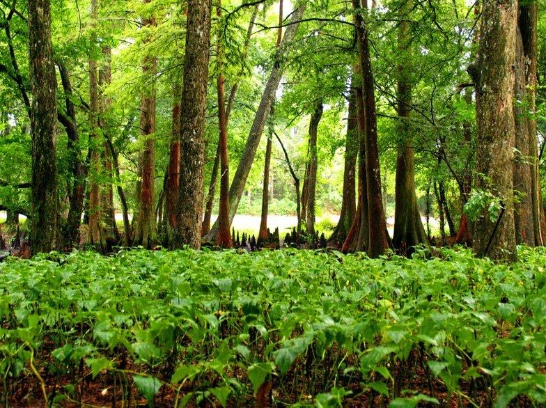 Piney Woods of Texas ||| Them ugly Sas-Akranan lowlands.