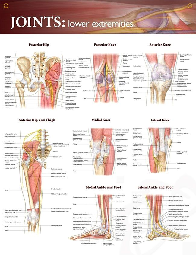 Joints: Lower Extremities Chart 20x26 | Anatomy, Muscles and ...