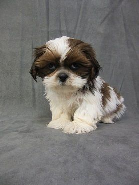 Just Puppies Maryland Baltimore Washington D C Annapolis Registered Unregistered Puppies For Sale Puppies Puppies For Sale Small Dog Photos