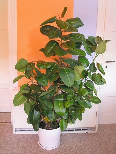 Gummibaum Ficus Elastica Vermehrung Pflege Beschneiden Majas