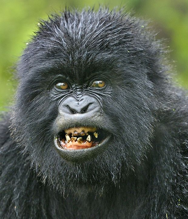 Gorilla With Gold Teeth Animals Pinterest Gold Teeth
