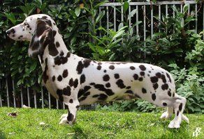 Sizing Up Things A Dalmatian And Dachshund Mix Dogs Pets Mixes Facebook Com Sodoggonefunny Dachshund Breed Dachshund Puppies Rare Dogs