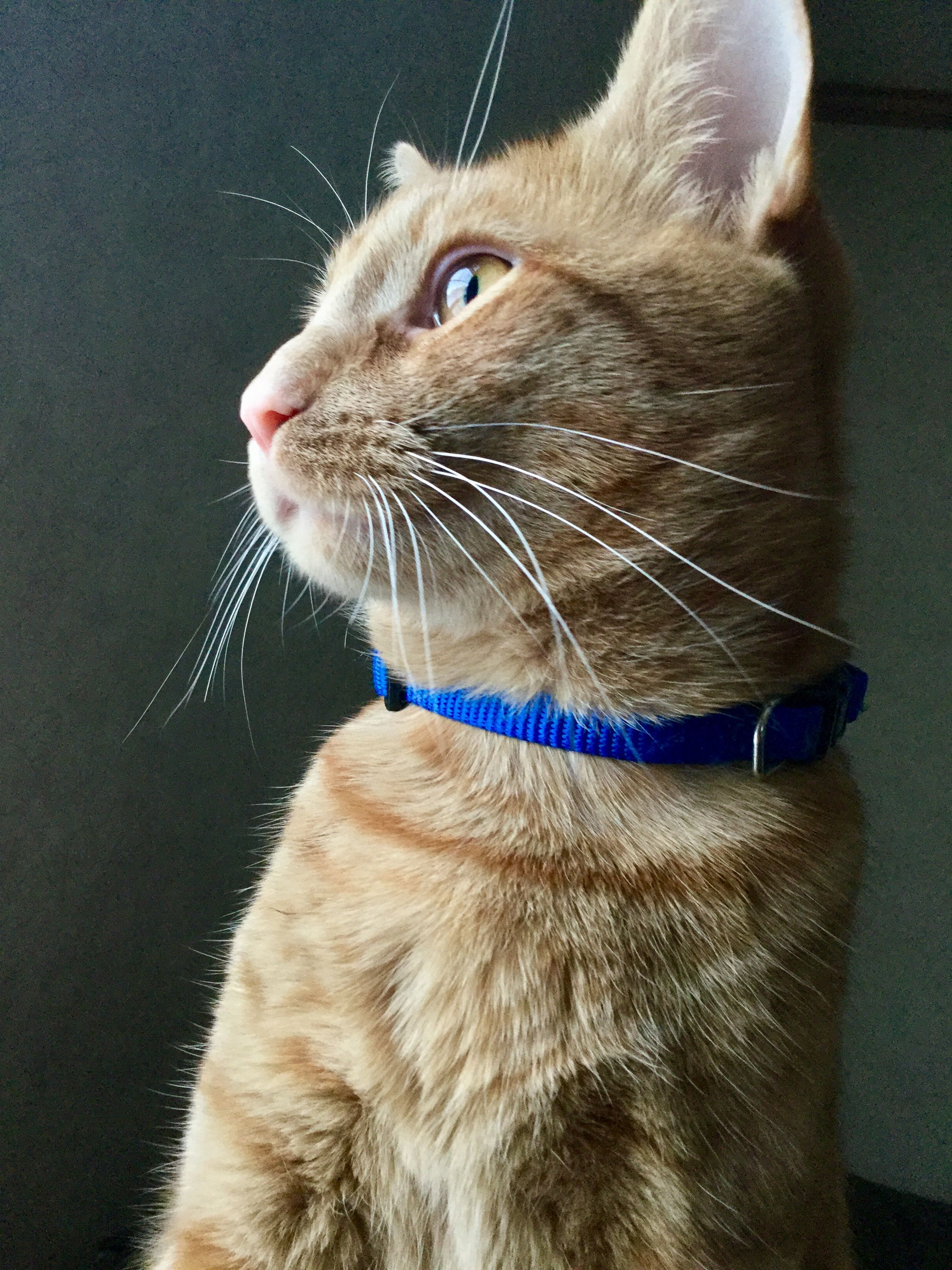 Tormund occasionally stays still long enough for a great picture.   cats funny pictures