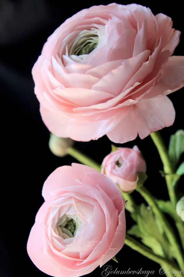 Sugar Ranunculus By Olesya Golumbevskaya Ranunculus Flowers Pretty Flowers Small Pink Flowers