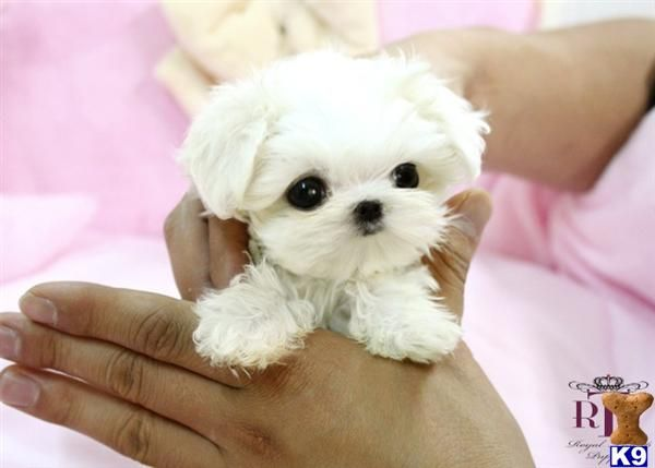 Precious Micro Teacup Maltese Want It Click Here To