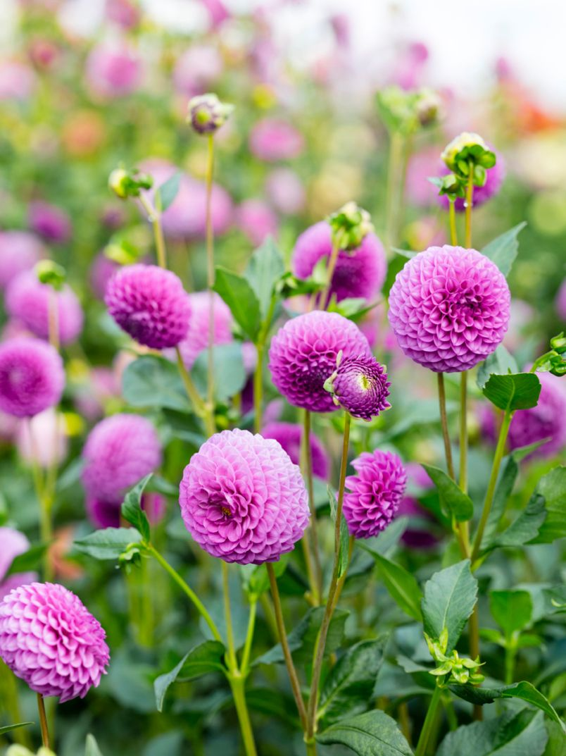 Don T Miss This Flower Filled Festival In Late August In 2020 Flower Farm Flowers Flower Festival