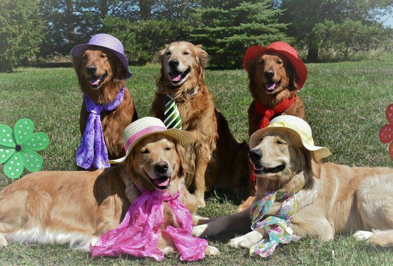 Golden Retriever Family Photo Funny Dogs Cute Animals Dog Love