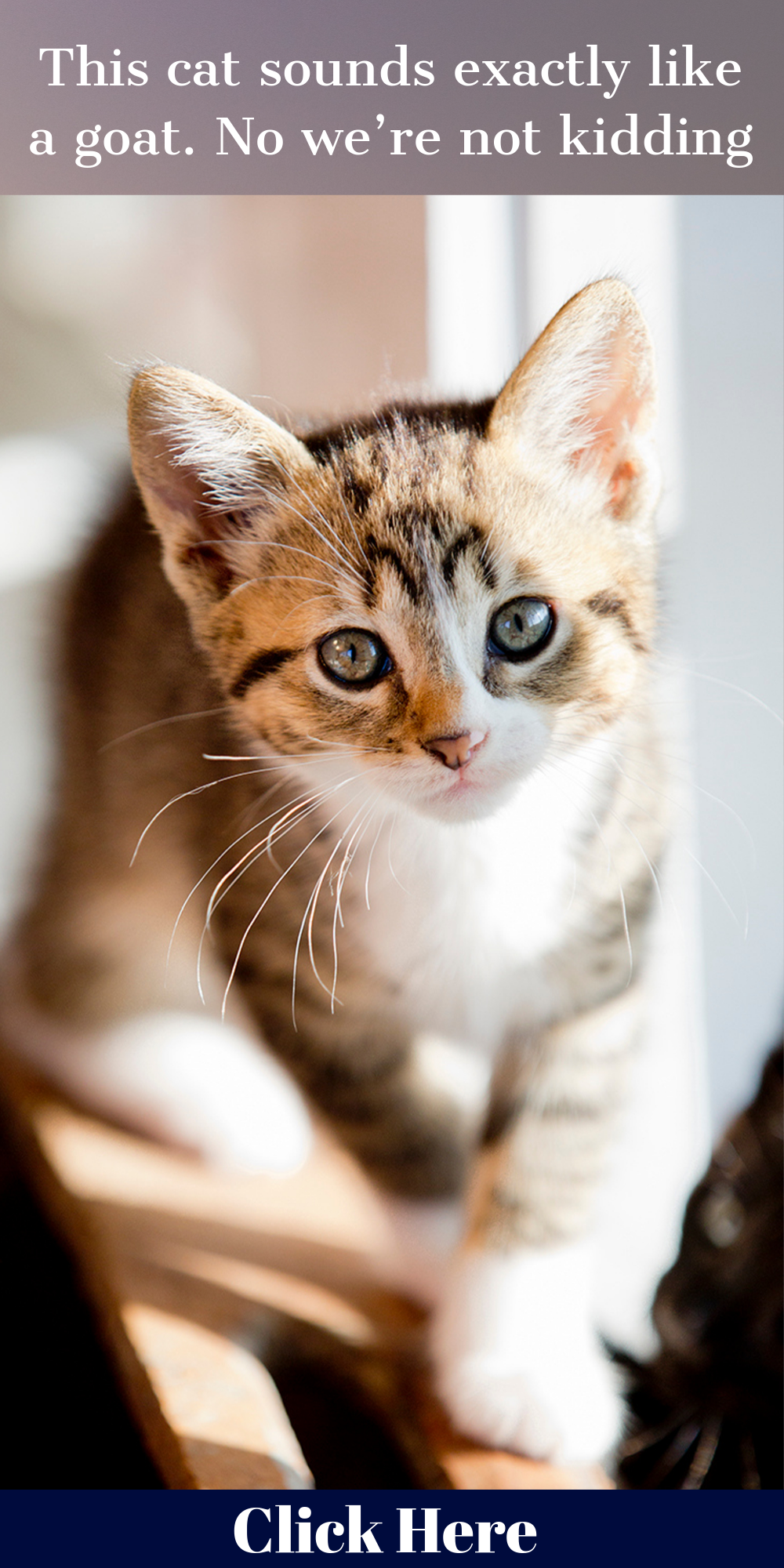 This cat sounds exactly like a goat. No we're not kidding