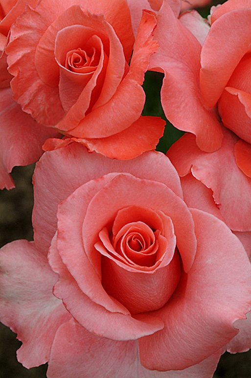 ✯ Roses