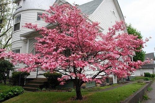 White Flowering Dogwood Trees Dogwood Trees Pink Dogwood Pink Dogwood Tree