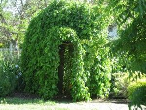 Weeping Mulberry I Have One Of These It Makes A Great Natural Playhouse For Kids Garden Tours Garden Activities Garden Images