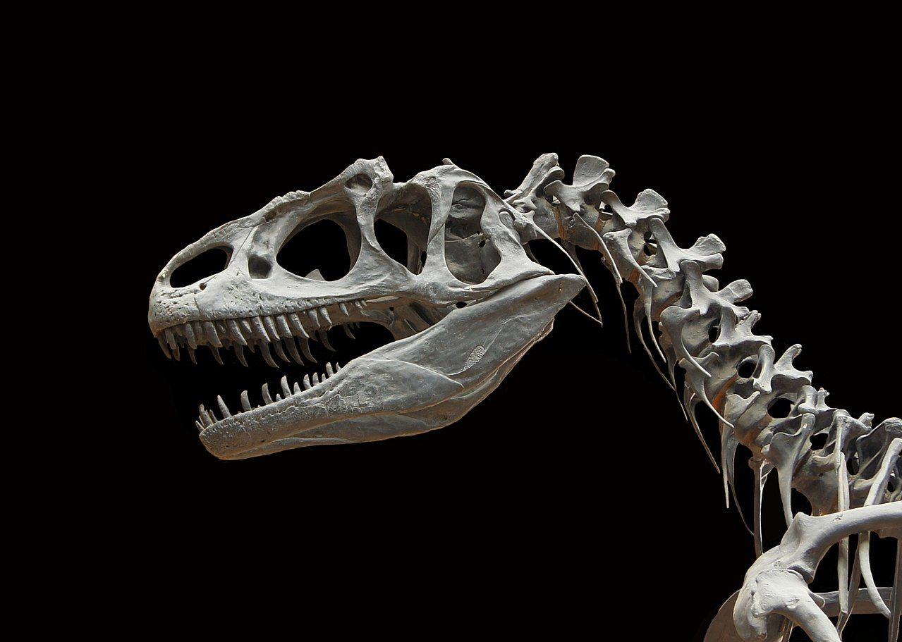 Allosaurus Fragilis Moulage Mnhn Paleontologie 1 Allosaurus Wikipedia Paleontologie Fossile Dinosaure Animaux Prehistoriques