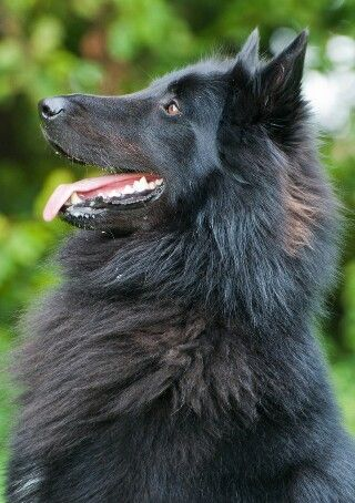 Pin By Dawn Cutler On Blaze Souls In 2020 Black German Shepherd Dog Black German Shepherd German Shepherd Dogs