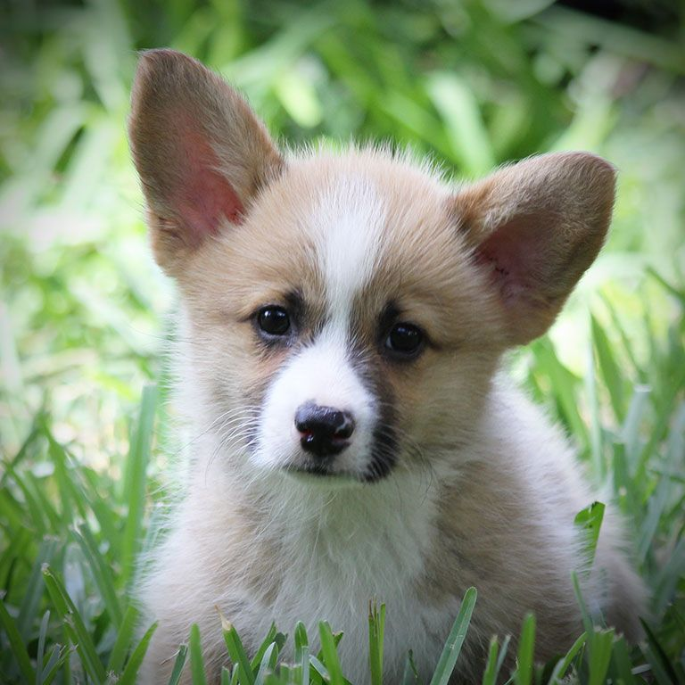 Corgi Puppies For Sale Hill Country Corgis Corgi Puppies For Sale Baby Corgi Corgi
