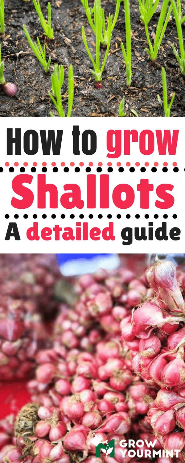 How To Grow Shallots (Not Another Onion Guide!) Growing