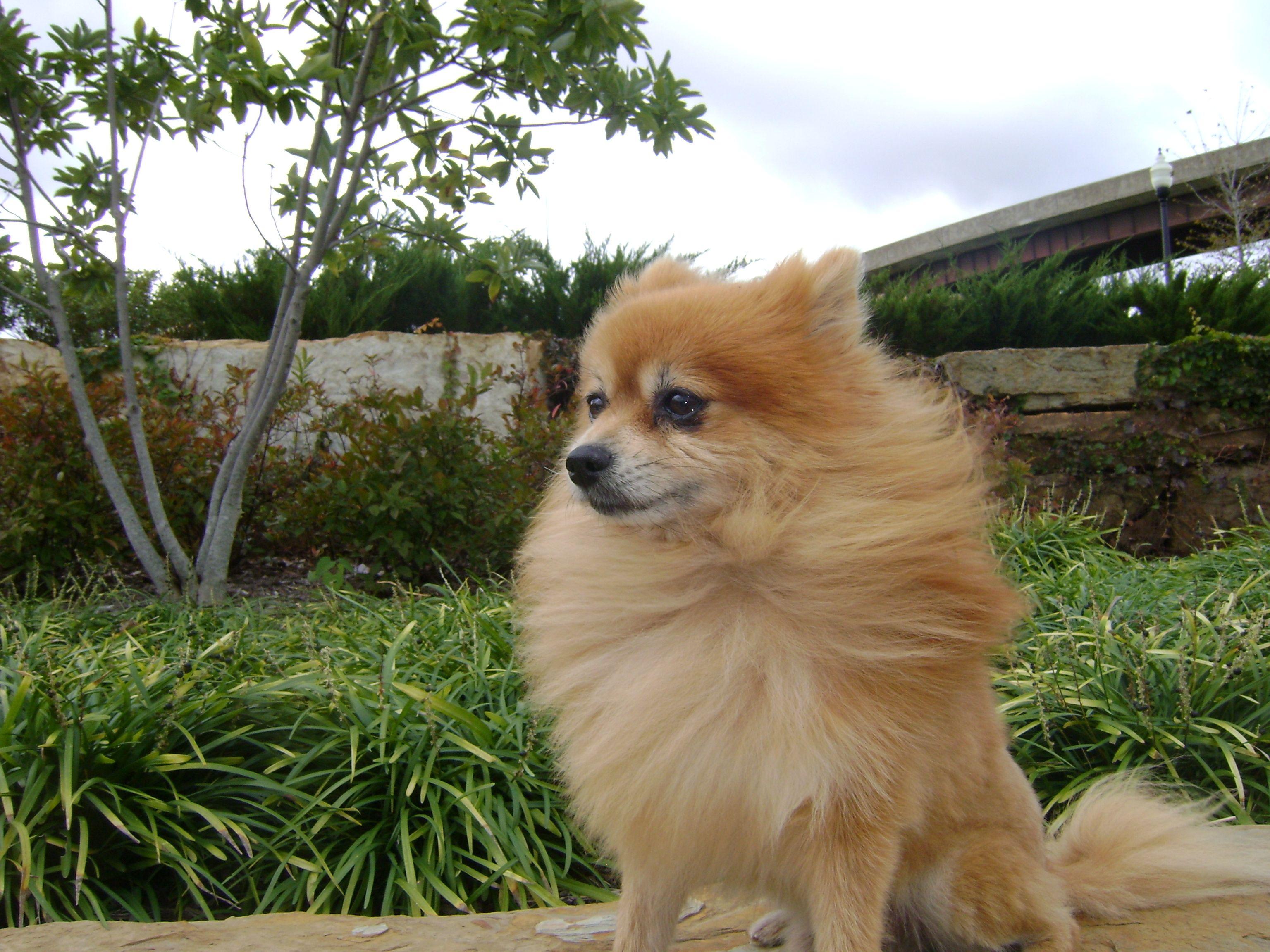 Pomeranian Latte posing in the wind.
