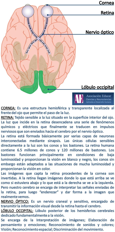 Cornea - Retina - Nervio óptico - lóbulo occipital - Asociación ...