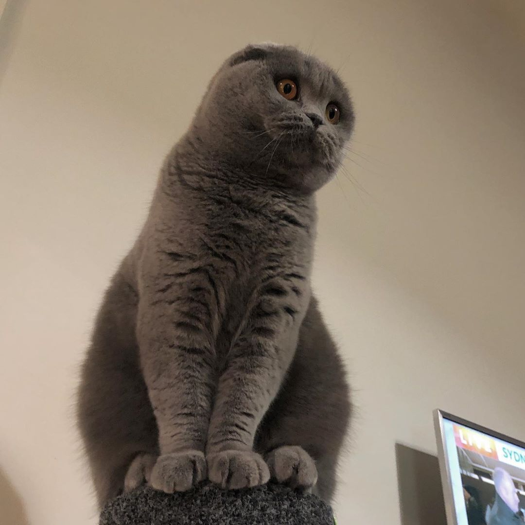 7 Easy Steps To Give Your Cat A Massage In 2020 Cat Scottish Fold Cats And Kittens Cats