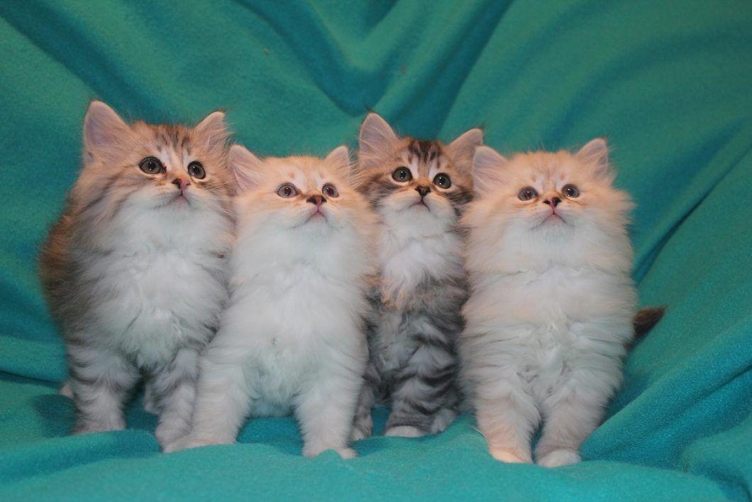 Siberian Cat Cat Breeders Websites Cat Breeder Purebred Cats