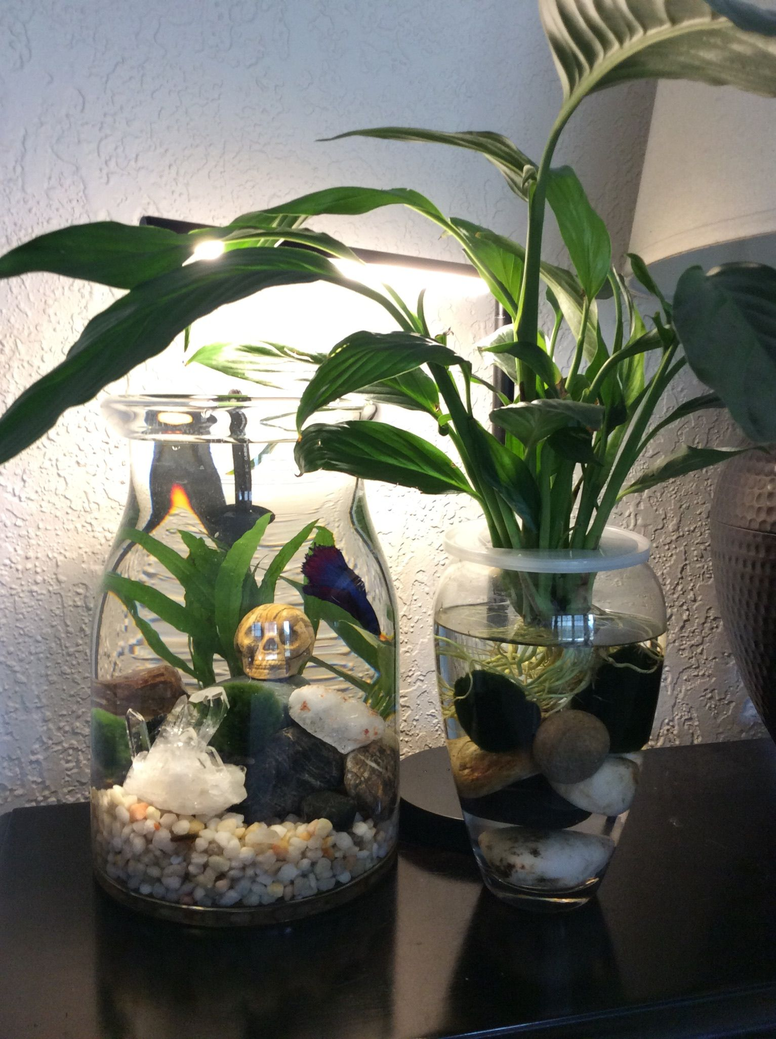 Peace lily leaves resting on top of water provides shelter for Betta fish water heater