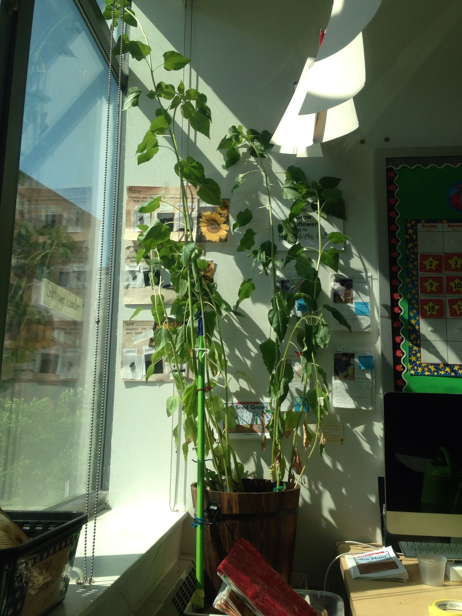 Miss Carolyn's Class School Year 2012-2013: Sunflower Garden in June... 7 feet later...
