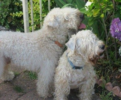 Soft Coated Wheaten Terrier Club Of Nsw Dog Lovers Soft Coated Wheaten Terrier Terrier