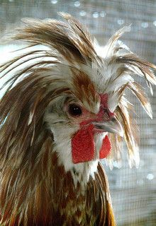 A Rooster Whos Lost His Comb Roosters Rooster Farm Animals