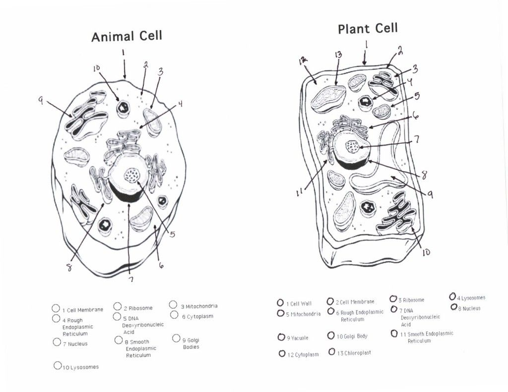 Image Result For Cell Membrane Animal Cells Worksheet Plant Cell Drawing Cell Diagram