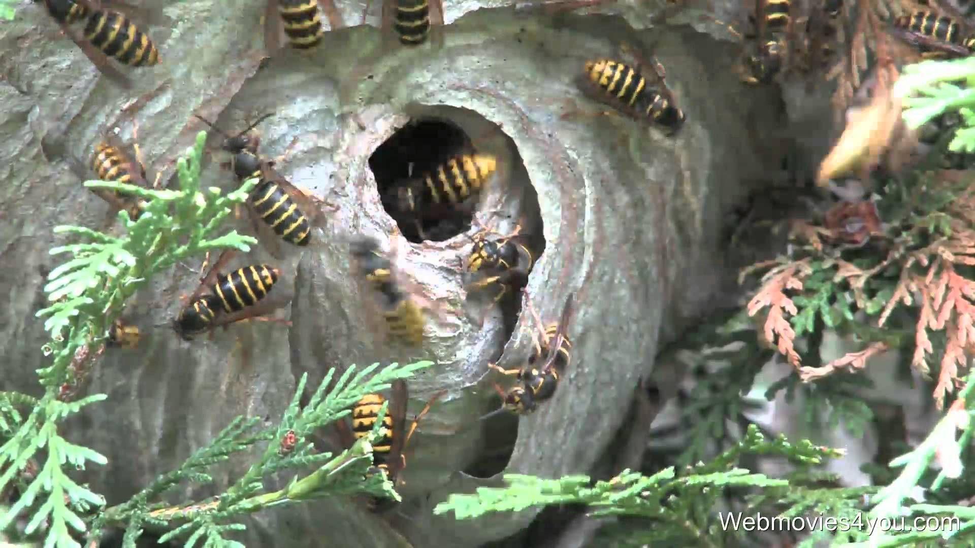 WASP NEST REMOVAL VIDEO Wasp nest removal, Wasp nest, Wasp