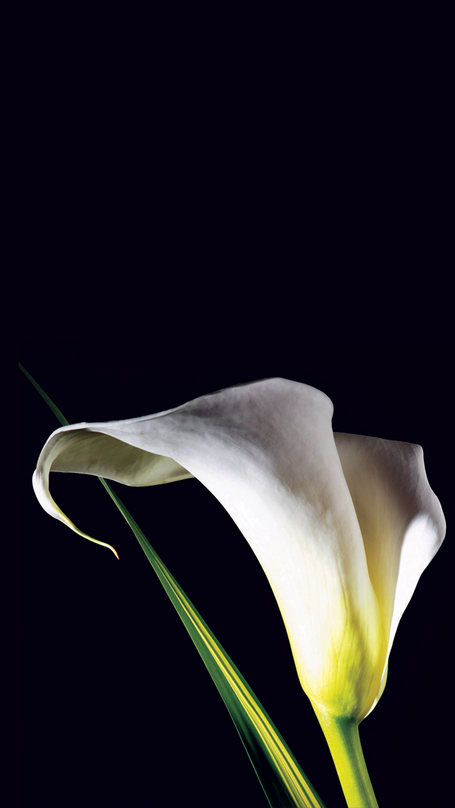 Calla Lily Wallpapers on