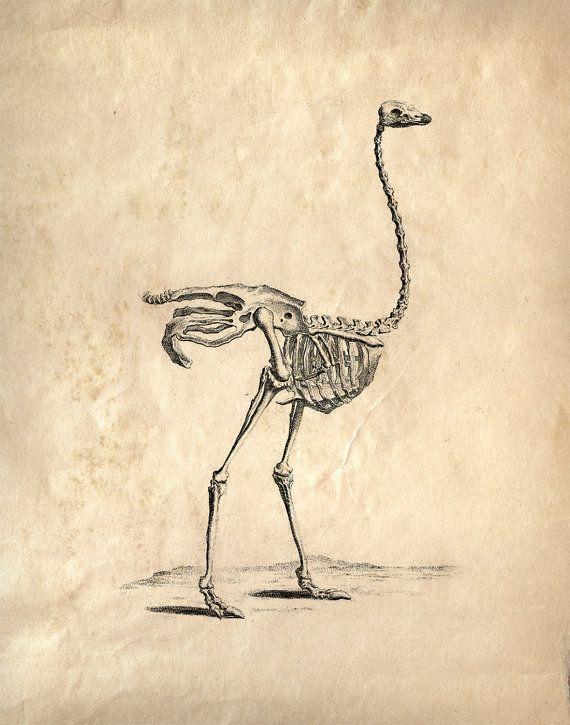 Autruche Vintage Impression Squelette   U00c9tude Sur Des