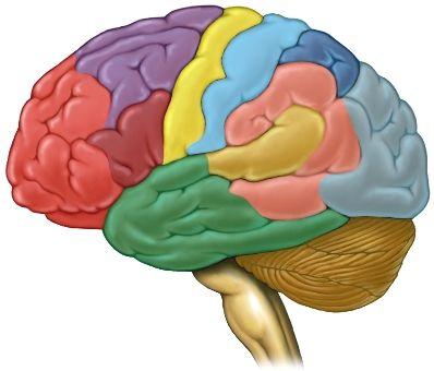 brain colored brain segments