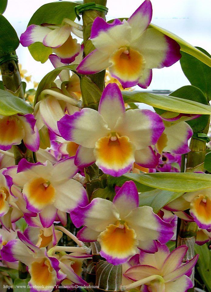 Den Fancy Lady Royal Princess Bm Joga Den Golden Tower X Den Star Song Beautiful Orchids Orchid Flower Unusual Flowers