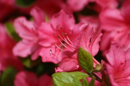 How To Grow Azaleas Outdoors Instead Of Indoors In Trays Azalea Bush Flowering Shrubs Plants