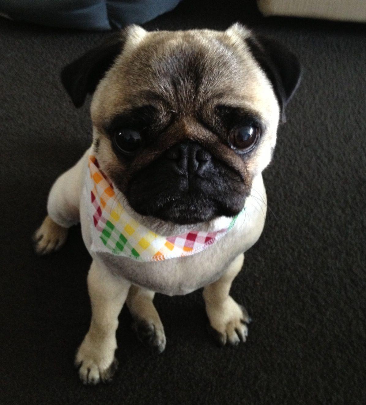 Derek S New Summer Haircut Cutepug Pug Cute Pugs Pugs Pug Names