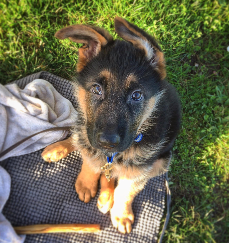 Meet Picasso, Friends New Overly Cute German Shepherd Puppy