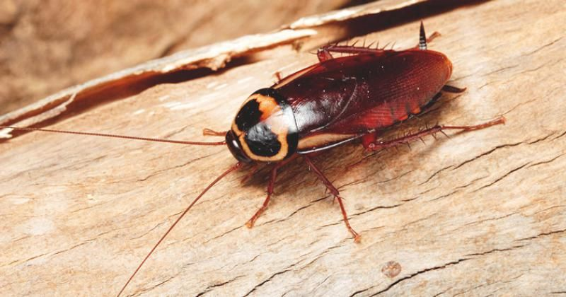 How Cockroach Pest Control Is Done In Residential And Commercial Places Pest Control Pest Control Services Pests