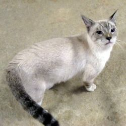 Benny Is An Adoptable Siamese Cat In Appling Ga Benny Is A 5 Year Old Male Lynx Point Siamese Mix Cross Between A Tabby And Siam Siamese Cats Cats Cute Cats
