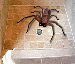 Giant African Spider J'ba Fofi- ...
