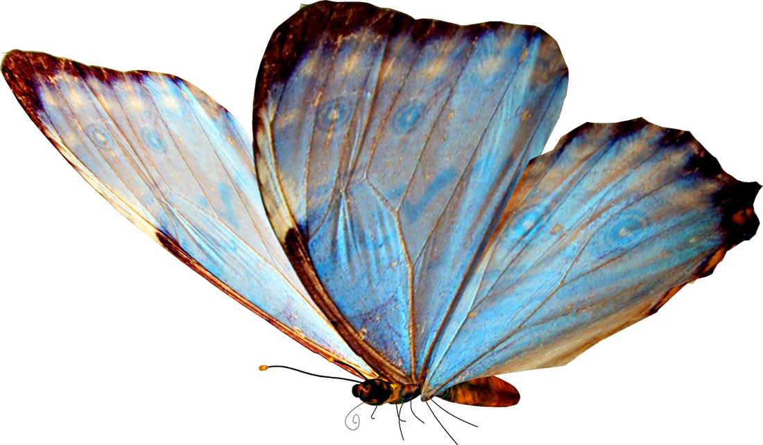 Light Blue Butterfly Side View Beautiful Butterflies Butterfly Gif Fantasy Collection