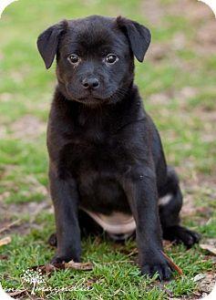 Fayetteville Ga Australian Kelpie Labrador Retriever Mix Meet Nikita A Puppy For Adoption Labrador Retriever Mix Puppy Adoption Labrador Retriever