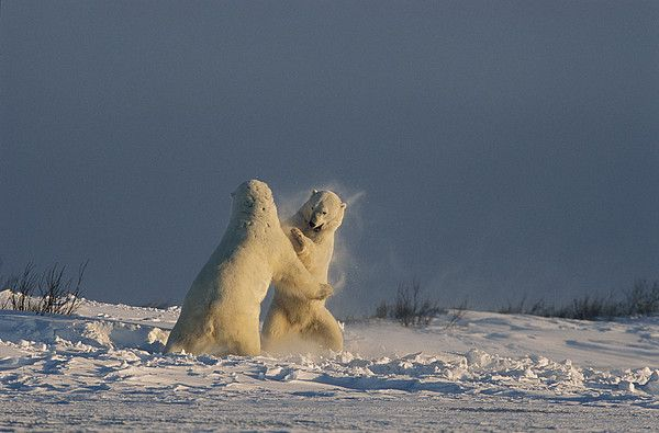 Male Polar Bears in Churchill, Manitoba_ Canada