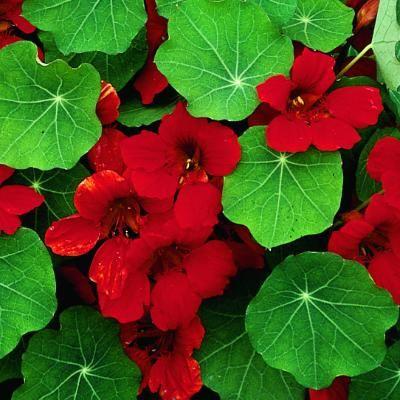 Nasturtium Empress of India plant possibilities Pinterest
