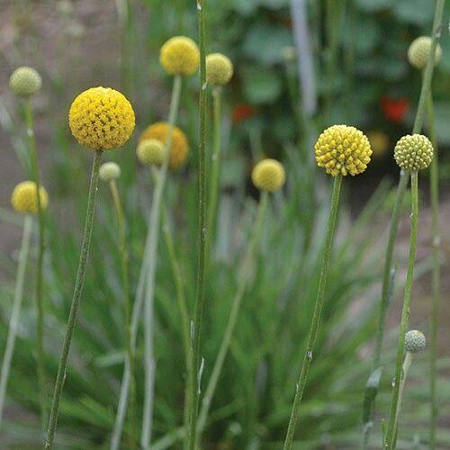 Drumstick Flower Flowers Perennials Globe Amaranth Amaranth Flower