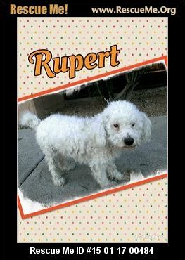 Rescue Me ID: 15-01-17-00484Rupert (male) Bichon Frise Mix