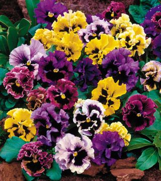 Flirty Skirts Mix Pansy Seeds Pansies Flowers Annual Flowers Flower Seeds