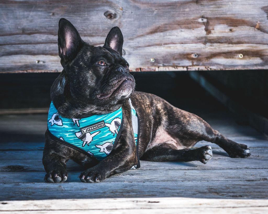 Frenchie Reversible Harness - JAWS FRENCHIE BULLDOG BLUE SHARK DOG