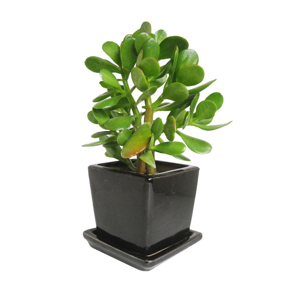 Jade plant in clay planter bring home a for House plant pots